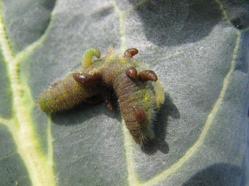 コマユバチ 畑の益虫
