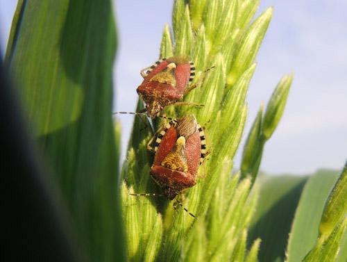 ブチヒゲカメムシ 畑の害虫