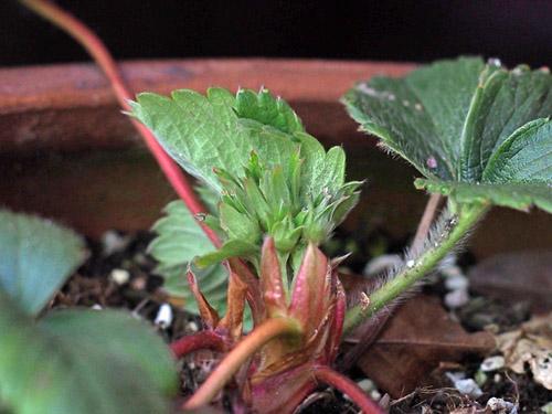 プランターやポット植えのイチゴの管理