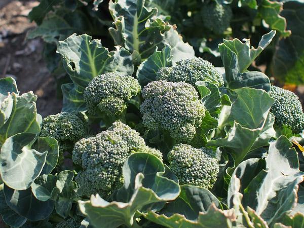 ブロッコリーの品種 主花蕾・側花蕾兼用種