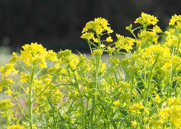 ミズナの花 Mizuna