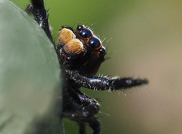 ハエトリグモの仲間 jumping spider
