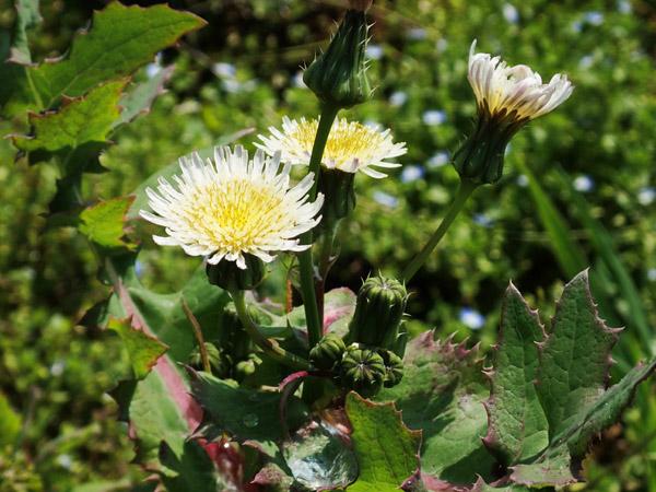 白花のノゲシ ウスジロノゲシ