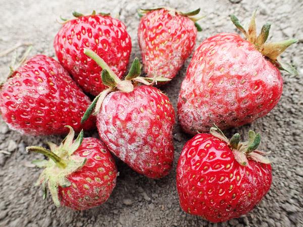 イチゴに「うどんこ病」発生