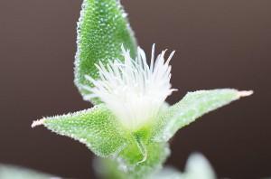 iceplant hana