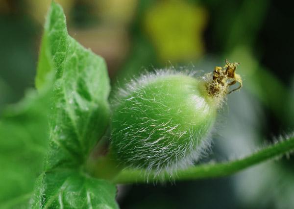 メロンの袋栽培 bagculture