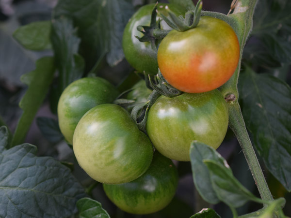 トマトの裂果