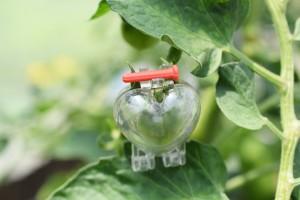 tomato hato kata