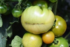 tomato rankei