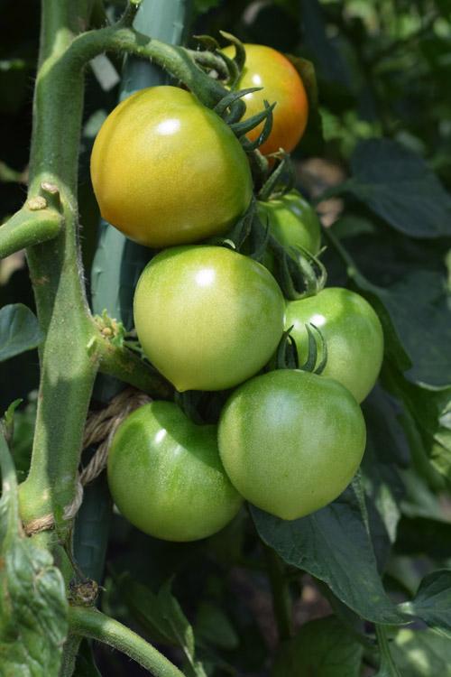 中玉トマトの着色