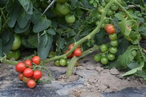 midi tomato