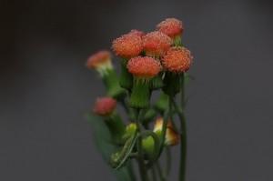 ベニバナボロギクの花