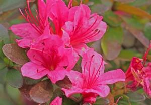 ツツジの花。