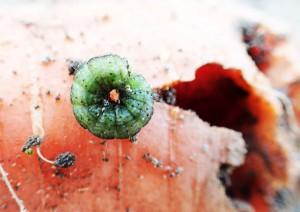 画像は横に寝かせたニンジンの上に乗せたタバコガ幼虫?