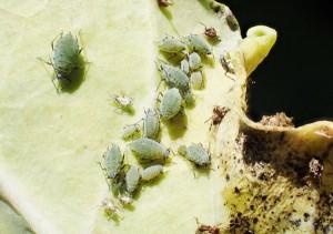 ニセダイコンアブラムシのコロニー。