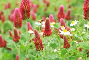 クリムソンクローバーとカモミールの花