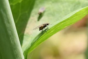 ナモグリバエ成虫。