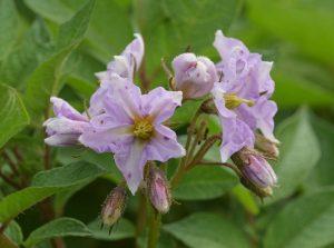 アンデス赤の花。 花弁の小さなシミはアブラムシによる吸汁あと。
