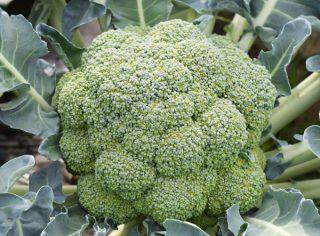 ブロッコリーの直まき栽培
