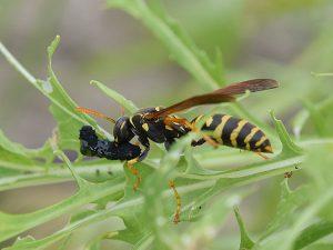 獲物を捕らえたハチ