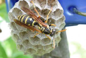 フタモンアシナガバチと思われるハチと巣