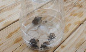 捕獲したクサギカメムシと思われる害虫。