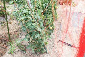 トマトのまわりに張った防鳥網。