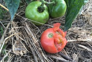鳥害?にあったトマト。