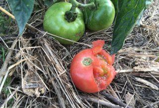 トマトに防鳥網を張る