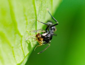 昆虫を捕らえたアリグモ。