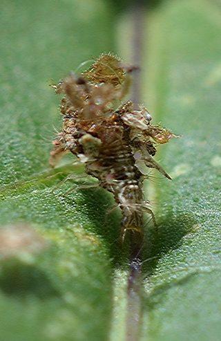 動くゴミ クサカゲロウの幼虫