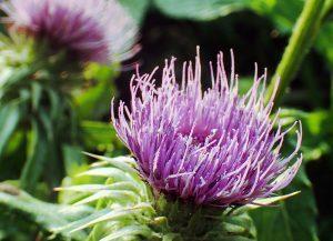 モリアザミ(ヤマゴボウ)の花。