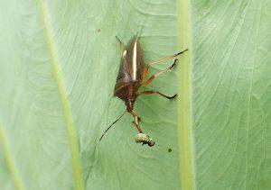 ハスモンヨトウの幼齢幼虫を太い口吻(クチブト名の由来)で刺している。
