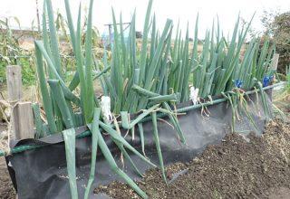 根深ネギ(長ネギ)楽々栽培