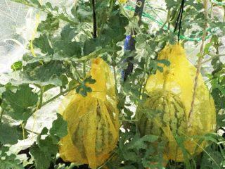 小玉スイカの立体&超手抜き栽培