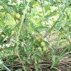 ミニトマトの超手抜栽培