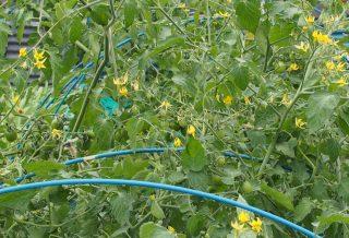 関東の梅雨明けとジャングルトマト栽培