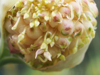 ニンニクの花 ジャンボニンニク 無臭ニンニク