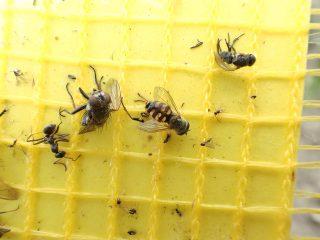 黄色い粘着シートで虫退治