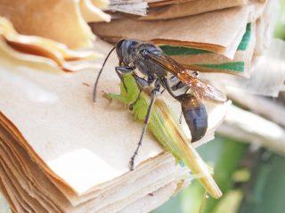 狩りバチが獲物を運んできた