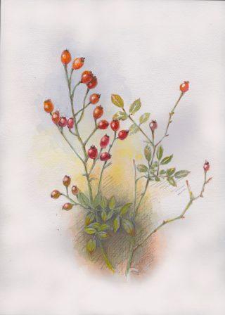 バラの実を描いた