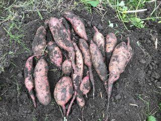 超遅植えサツマイモの収穫