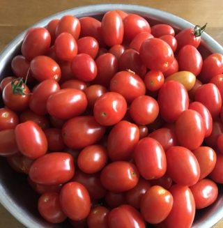 ほったらかし栽培のミニトマト収穫