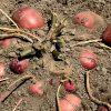 ジャガイモ マルチ逆さ植え収穫