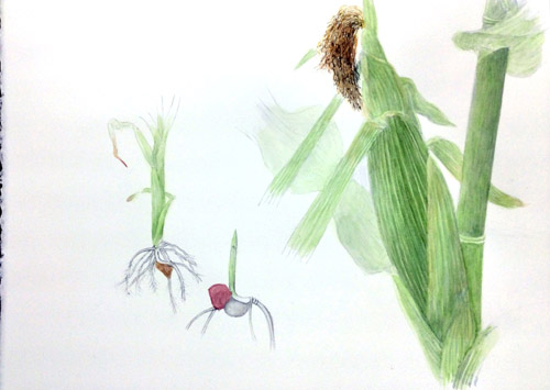 トウモロコシの絵