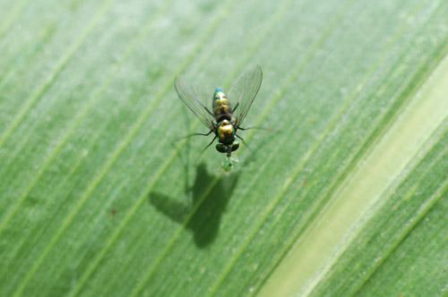 アシナガバエ 畑の益虫