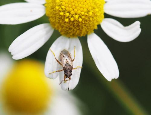 ヒメハナカメムシ 畑の益虫