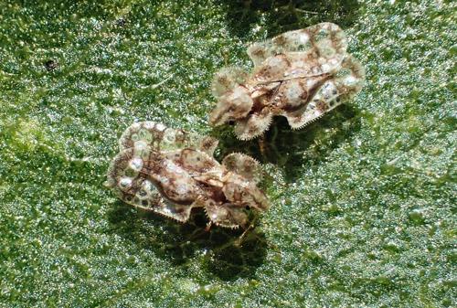 畑の害虫 アワダチソウグンバイ