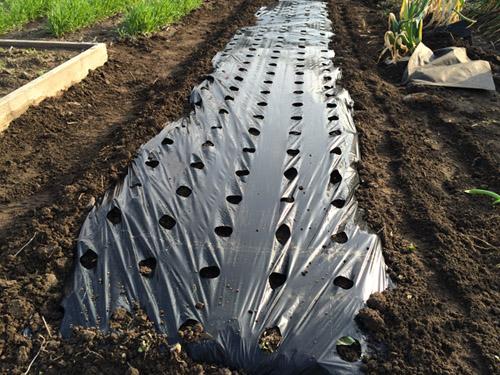 ジャガイモの逆さ植え