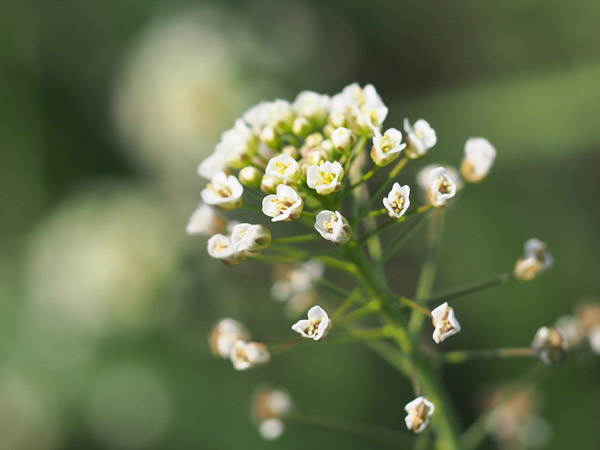 ナズナの花とホソヒラタアブ